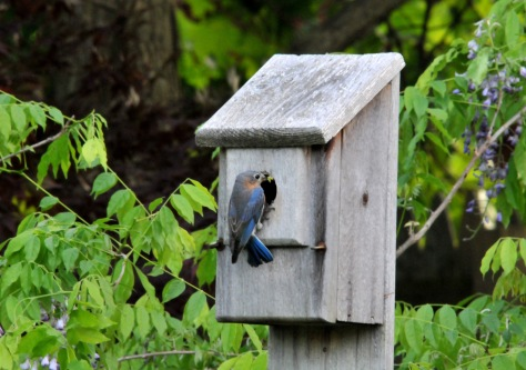 Female Bluebird just about to feed her chicks
