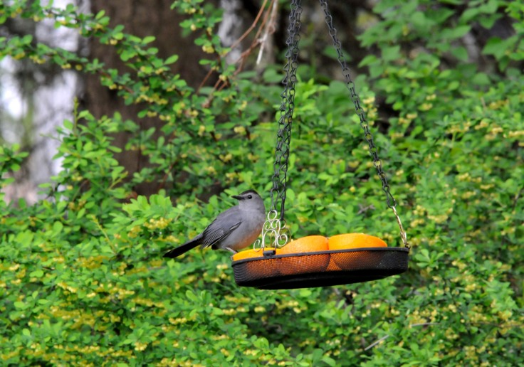 A Gray Catbird tapping the oranges.
