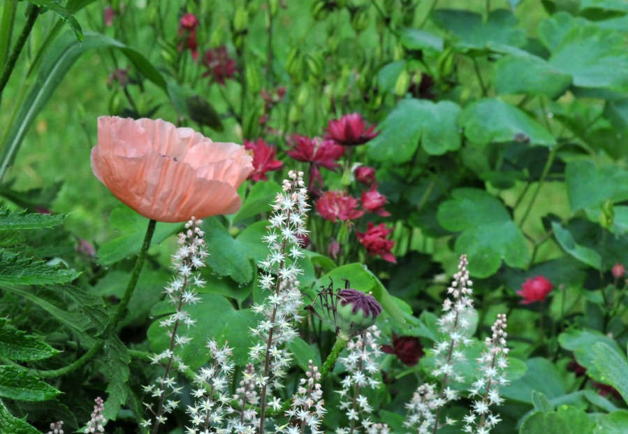 Oriental poppy among Sea foam and Columbine