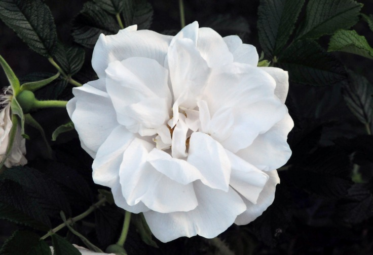 Pure white Rugosa 'Blanc de Coubert' with citrus scent