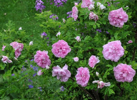 Rugosa 'Doreen Pike' has so many flowers that weigh the branch down.  It's fragrance is strongest in the morning.