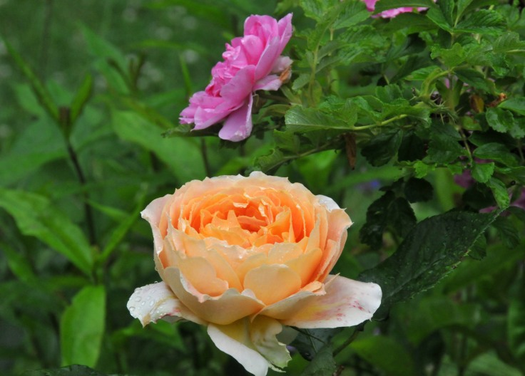 Antique caramel blooms right next to Rosa rugosa 'Mrs Doreen Pike'