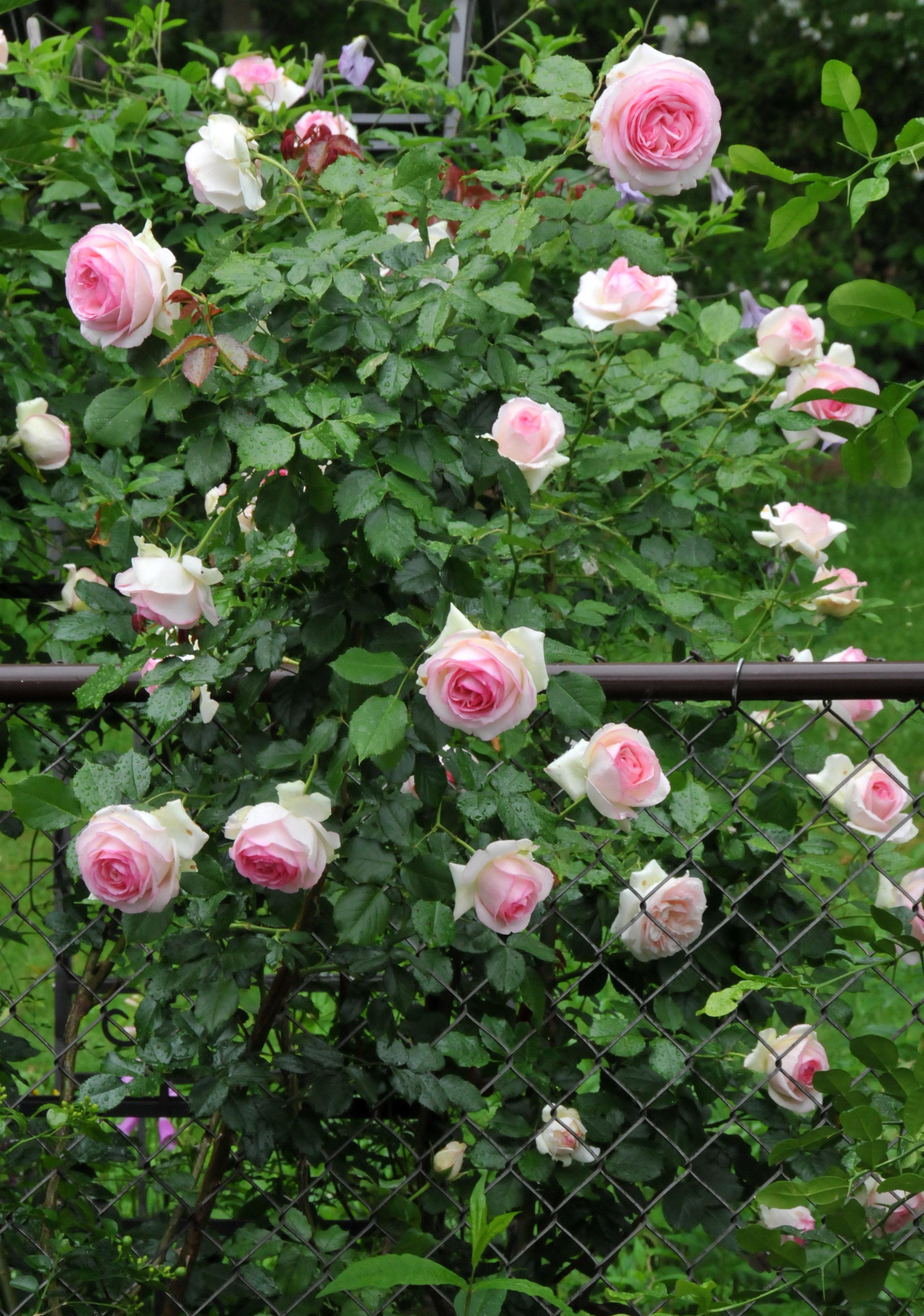1000 images about david austin roses on pinterest gardens shrub roses and christopher marlowe. Black Bedroom Furniture Sets. Home Design Ideas