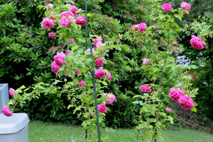Each flower of MME Isaac Pereire rose is so heavy that I have to stake them to keep them upright.