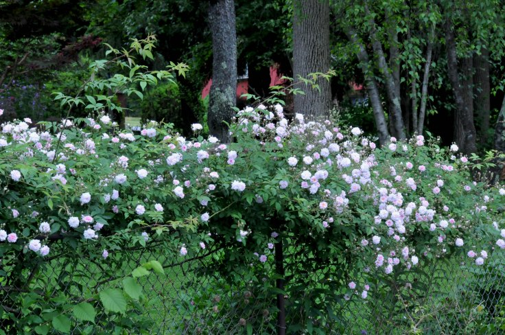 Paul's Himalayan Musk covers one side of the fence