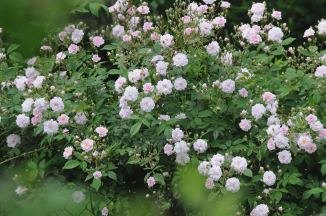 Loaded with small pink flowers having a honey scent