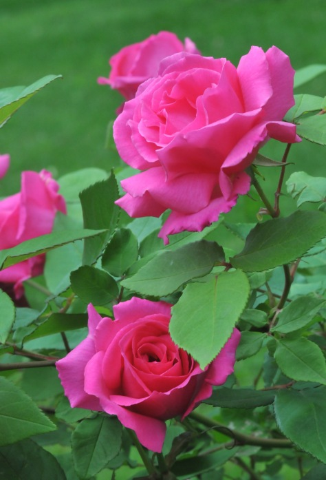 Zephirine Drouhin is a re-blooming climbing rose with very strong fragrance