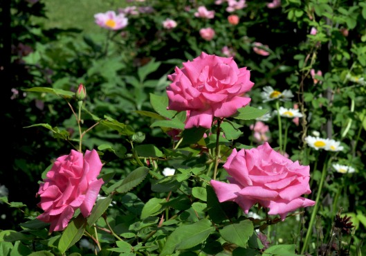 Zephirine Drouhin with Knockout rose in the background