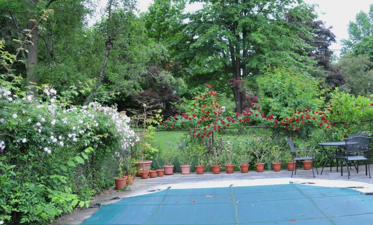 We grow climbing and rambling roses to cover the unsightly pool fence.  This is where Paul's Himalayan Musk and Blaze meet.