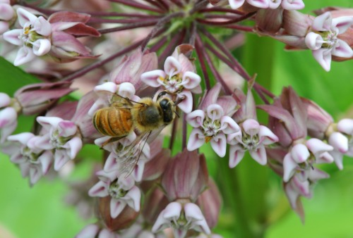 Honey bee taking nectar from the flowers