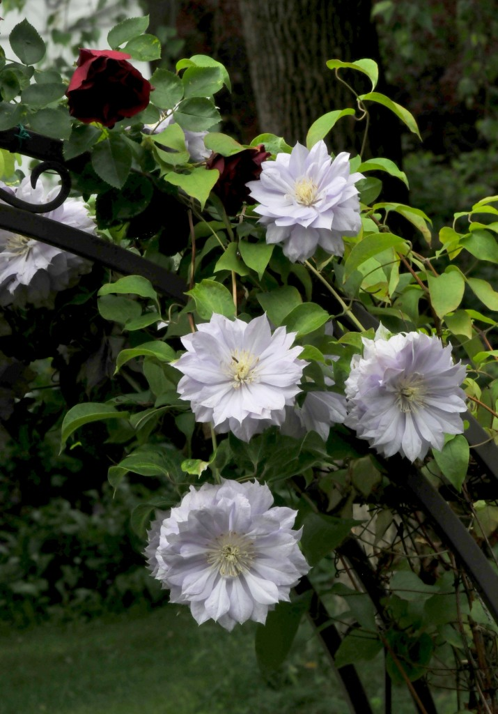 Clematis 'Belle of Woking' next to a 'Blaze' rose