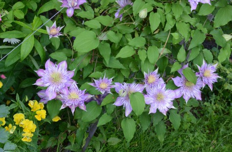 Lined up Clematis 'Crystal Fountain' at the base of Paul's Himalayan Musk rose