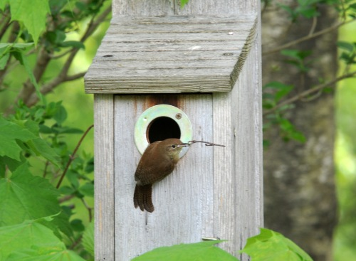 House Wren nest building in late May this year.