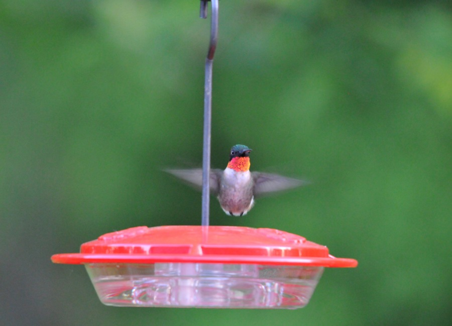 A male Ruby-throated Hummingbird hovering over one of the feeder