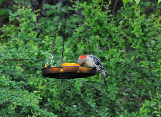 A female Red-bellied woodpecker packing in some orange before taking some for her young