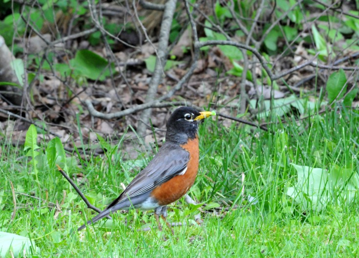 American Robin picking a caterpillar for their young
