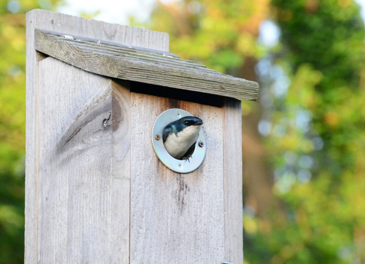 Tree Swallow keeps her eyes on me while I was working nearby and stayed put even when I was a couple feet away.