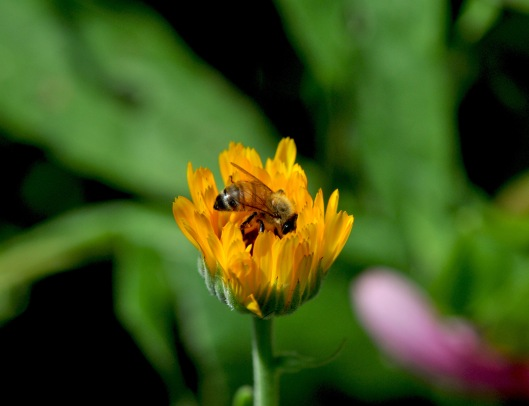 Calendula comes in many shade of yellow and orange
