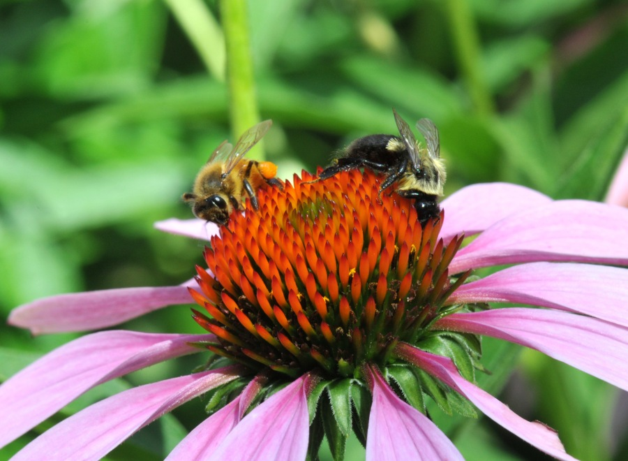 Honey bee and bumblebee sharing nectar on an Echinacea