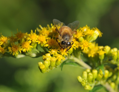 A good day for this honey bee since no wasps are not around yet