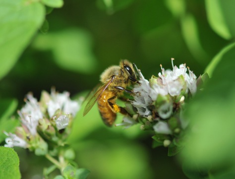 What can be more perfect for Italian bees than Oregano?