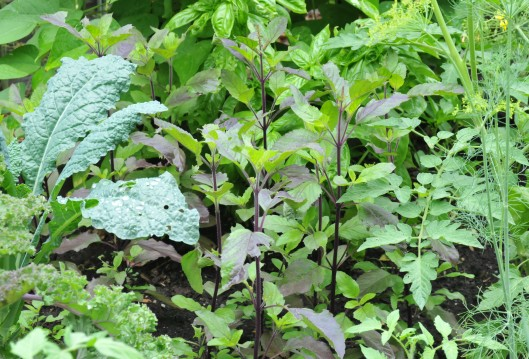Holy basil are doing fine amongst the Kale, Dill and Genoese basil.