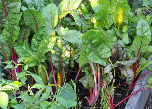 The Swiss Chard is doing fine this summer
