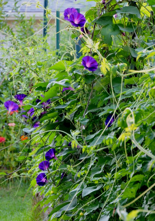 I have no idea how this Morning glory got here but I let it grow since the flowers are so beautiful. The Bitter melon doesn't seem to mind sharing space on the fence either.
