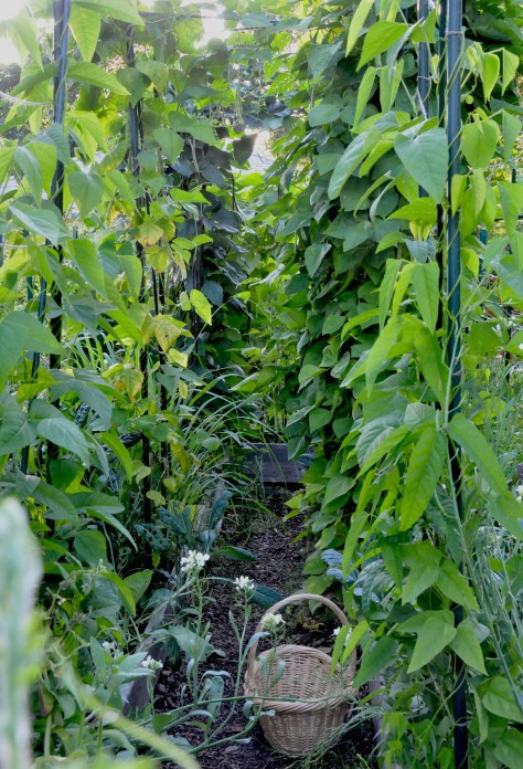 Winged beans in the foreground are just starting to flower. The Italian and Asian long beans in the background have been producing a lot of beans this season.
