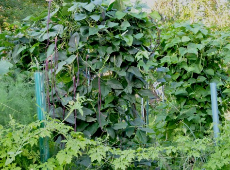 The lush Red Asian Long beans and Italian beans are growing faster than I can harvest.