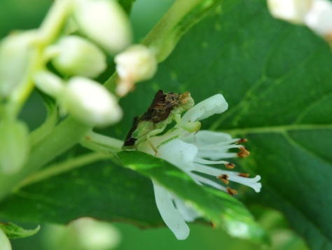 Ambush bug waiting patiently to ambush other bugs