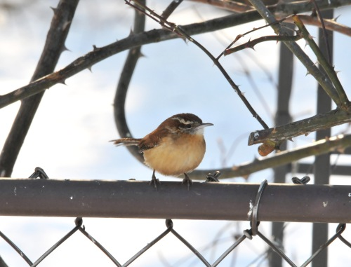 A Carolina Wren in the garden last winter