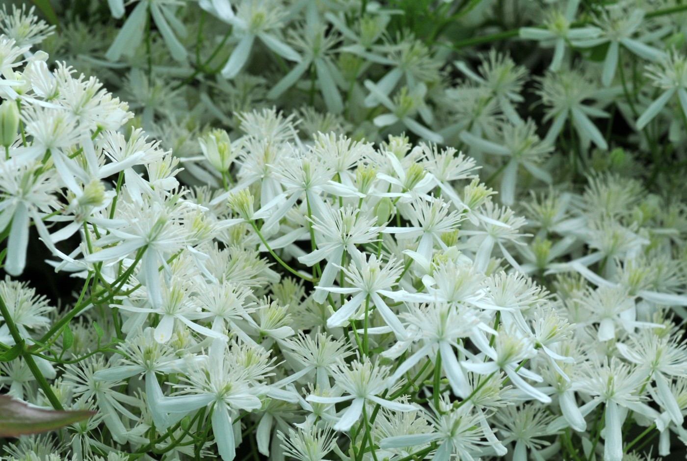 White flower plants petals and wings sweet autumn clematis mightylinksfo Gallery