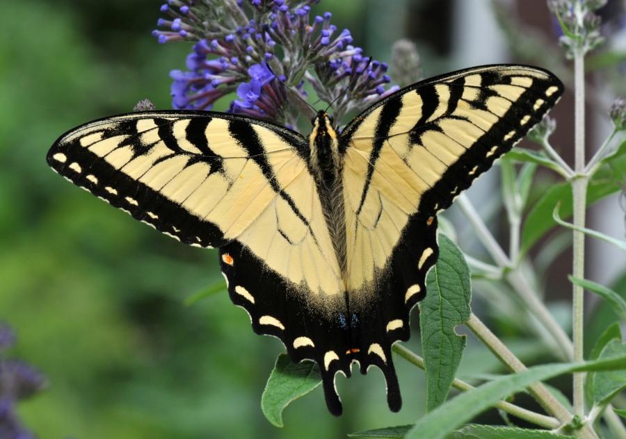 Eastern Tiger Swallowtail on Buddleja