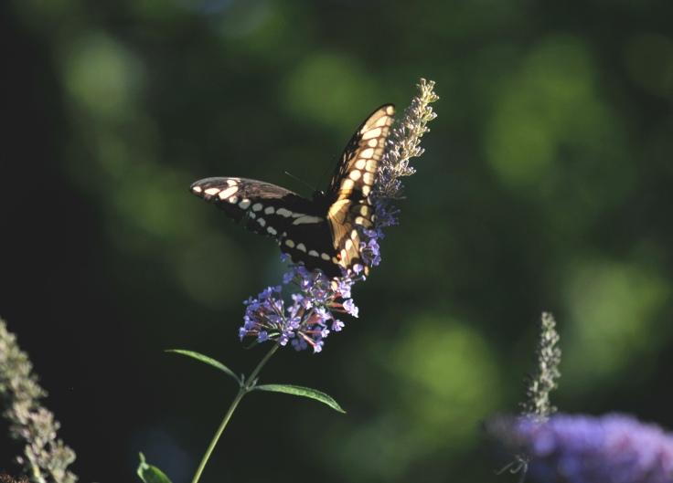 Giant Swallowtail on Buddleja