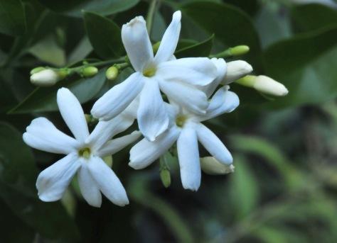 'Azores' jasmine