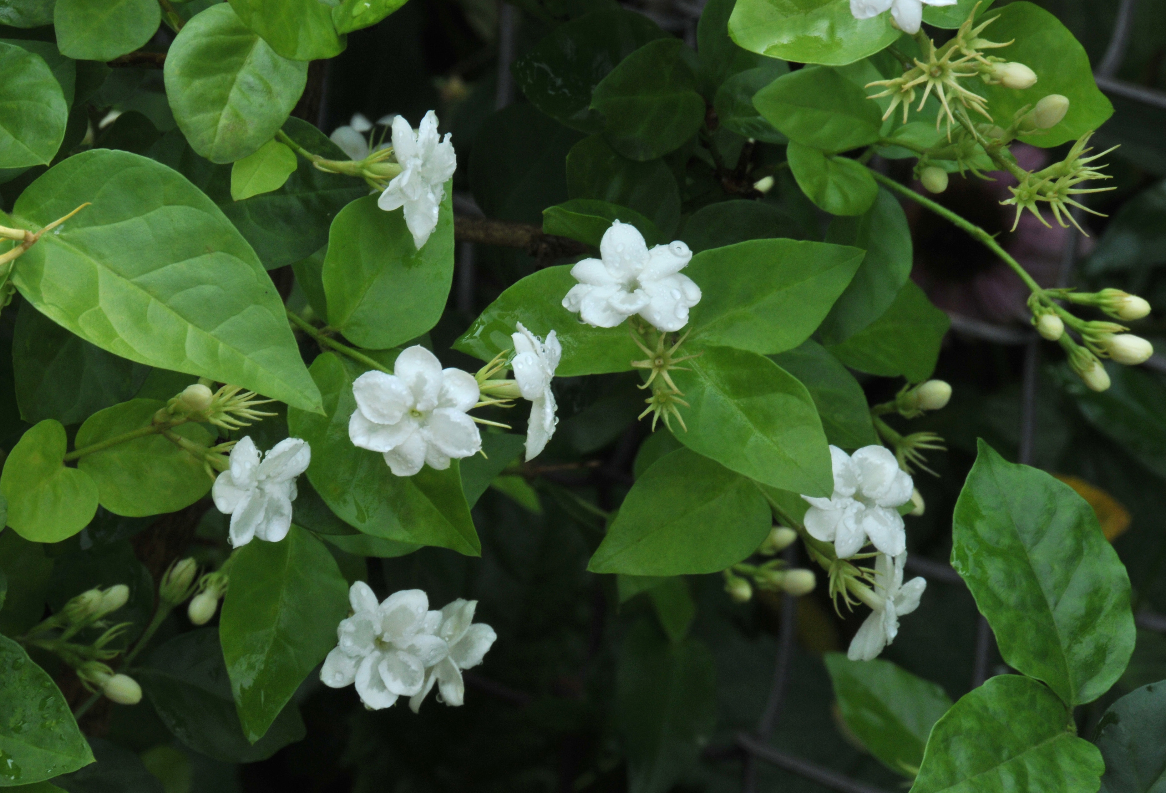 Maid of orleans jasmine petals and wings maid of orleans izmirmasajfo