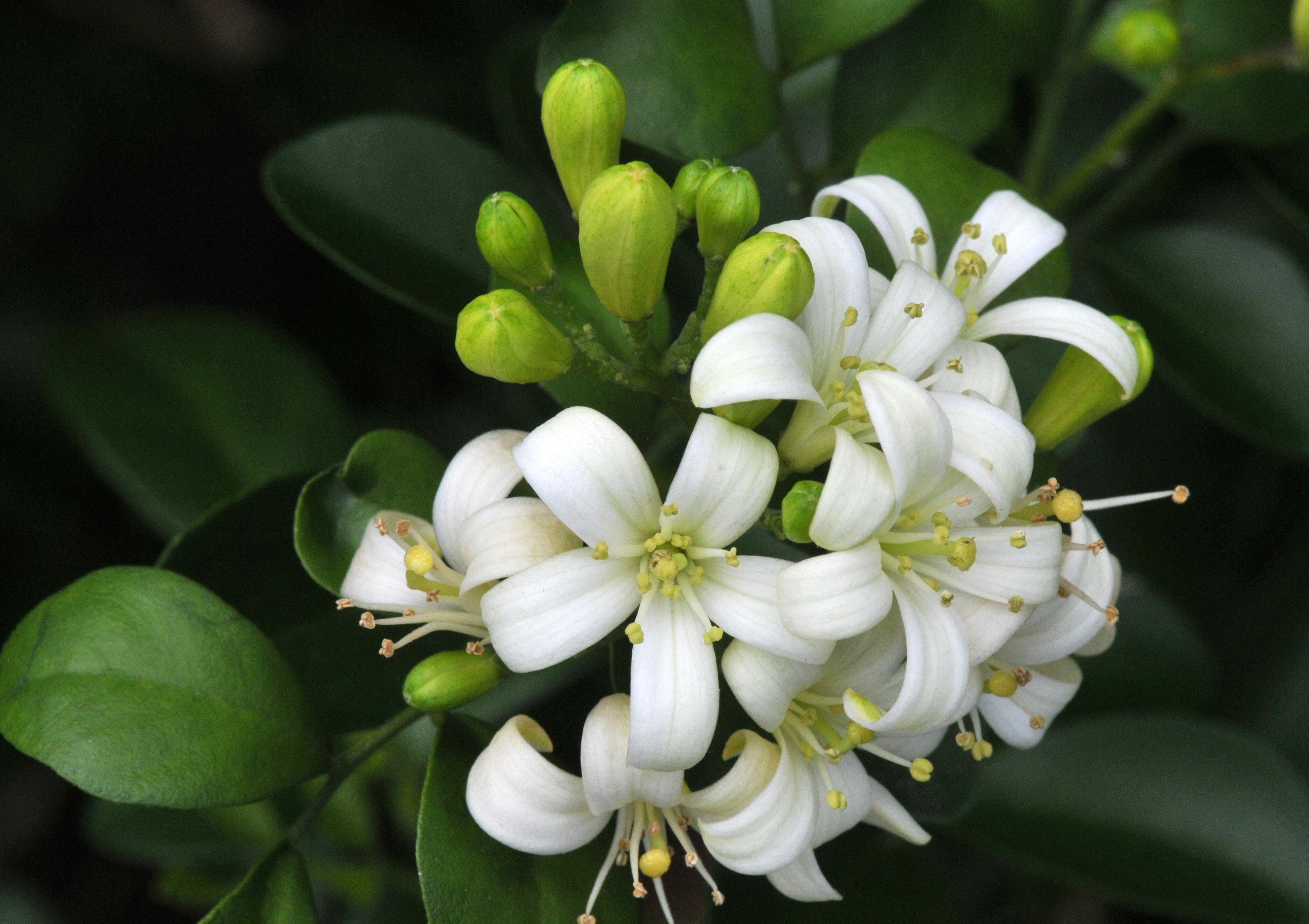 Belle of India jasmine