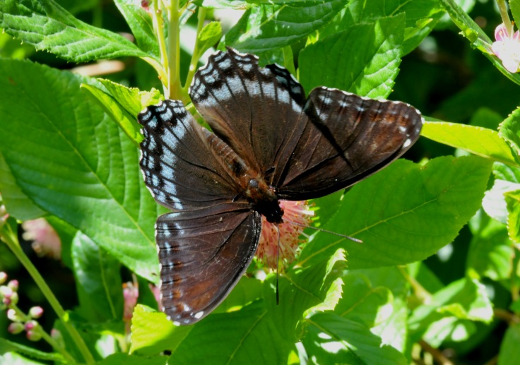Red -spotted purple on Summersweet
