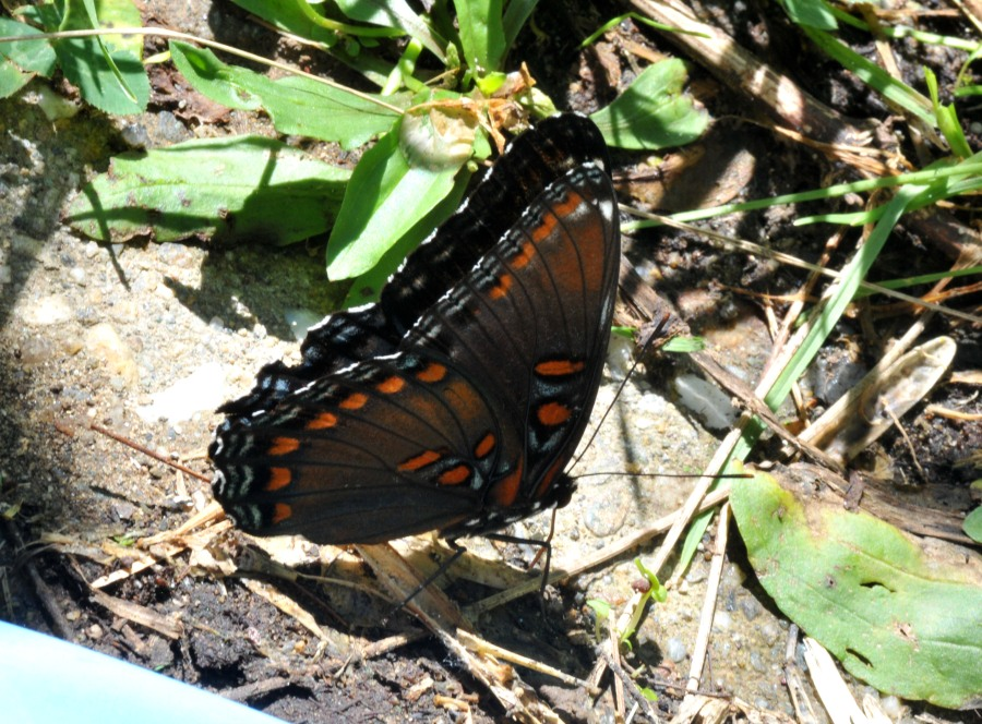 Red-spotted purple is taking up mineral from yhe damp the ground.