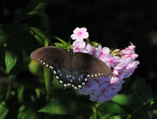 Spicebush Swallowtail on Garden Phlox