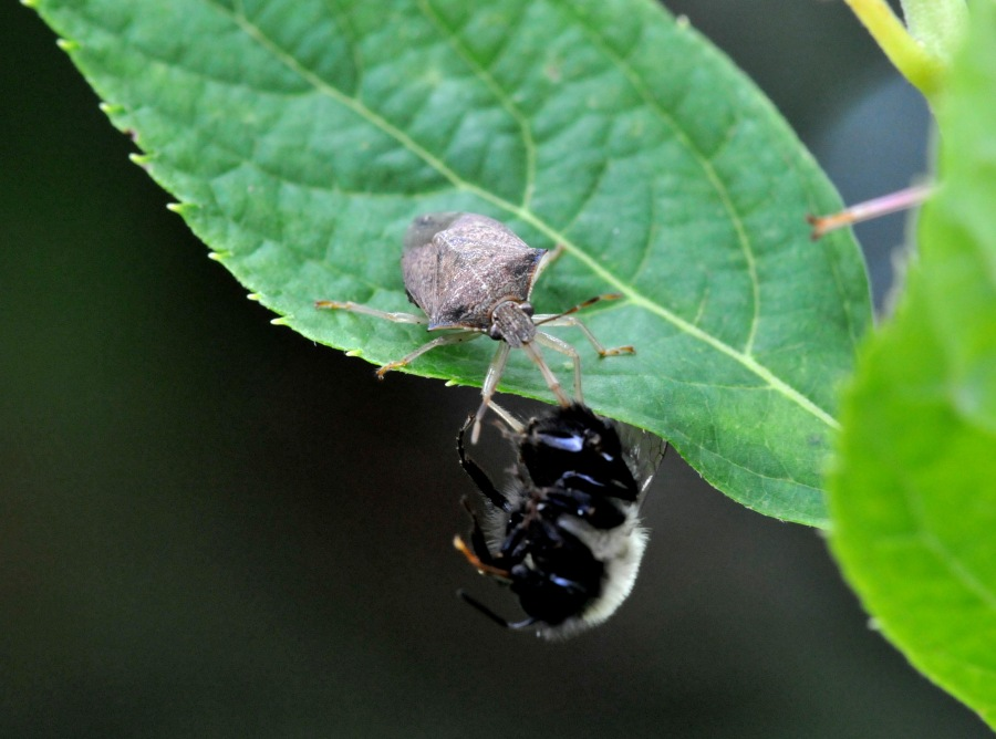 Spined Soldier bug nabbed a bumblebee, a good guy, but they nab the bad too