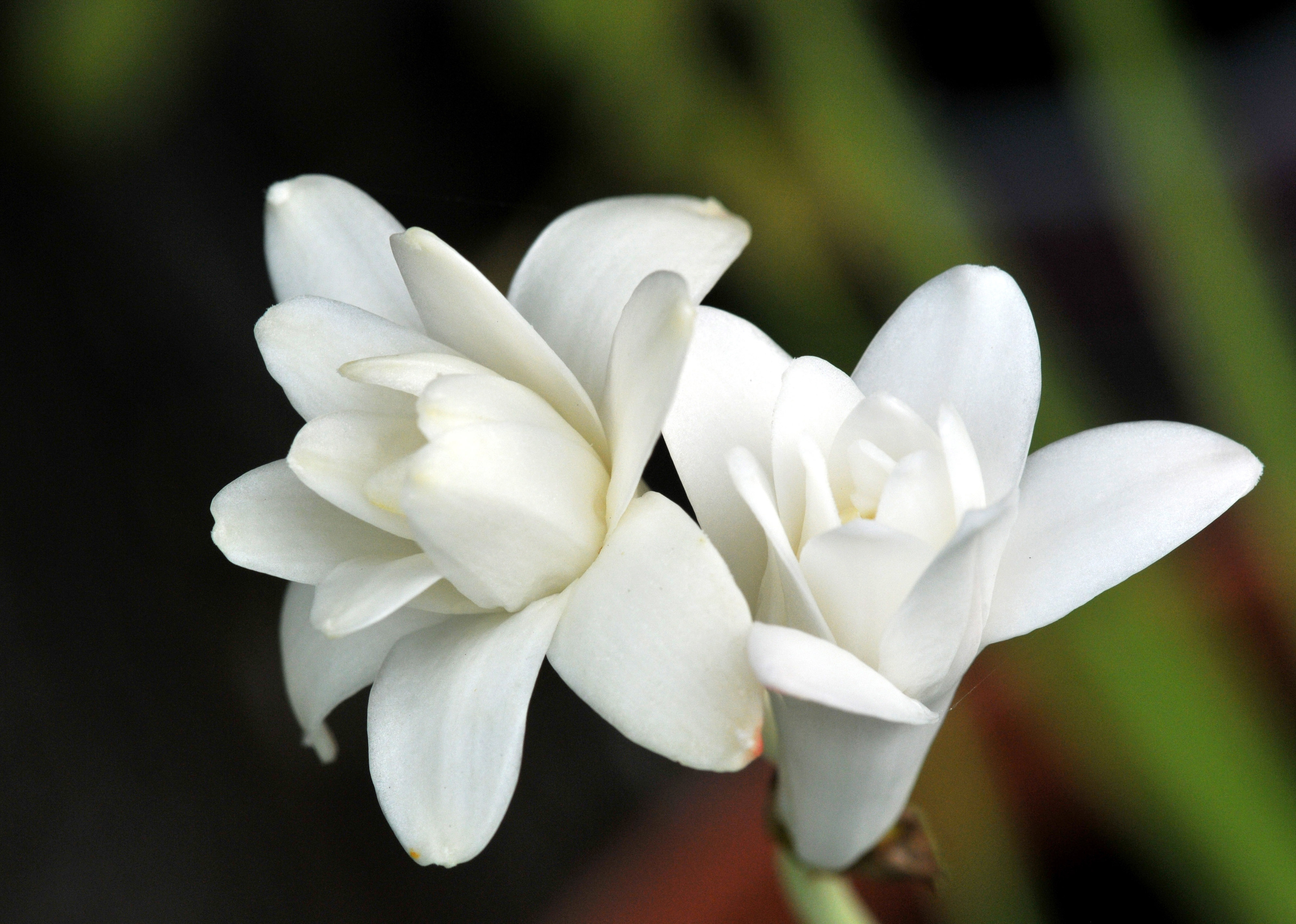 Fragrant flower petals and wings pure white with strong sweet fragrant mightylinksfo