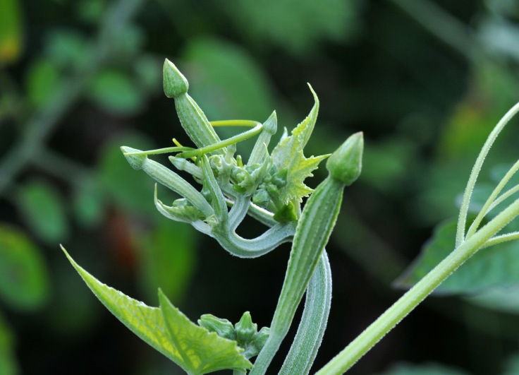 Angled gourd shoots and flower buds can be eaten