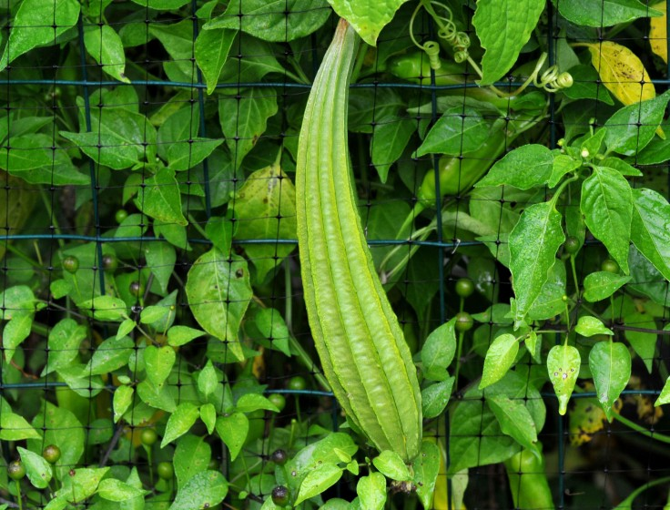 Mature Angled gourd, with angles all around, hence the name