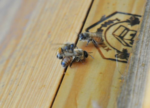 One worker bee helped by blocking his way while the other one was dragging him back out.