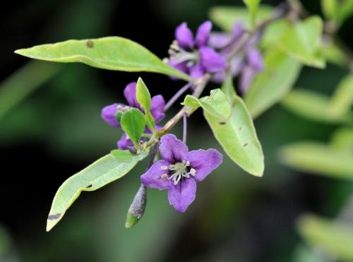Little purple flowers along the stem