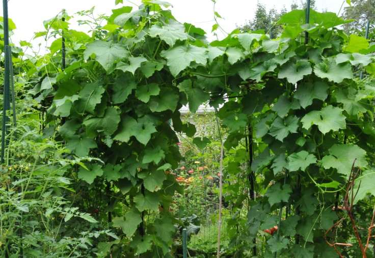 Angled gourd and Sponge luffa entwine on the same trellis