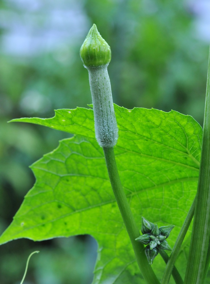 Luffa flower bud can be eaten at this stage as well