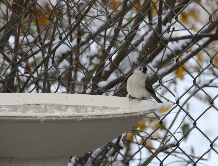 A Tufted Titmouse enjoying probably the only bird hot spa in the neighborhood (electrically heated)